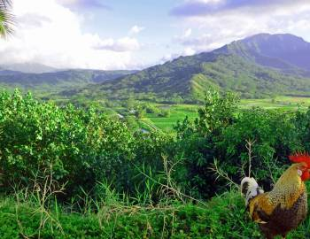 Hanalei taro fields and rooster