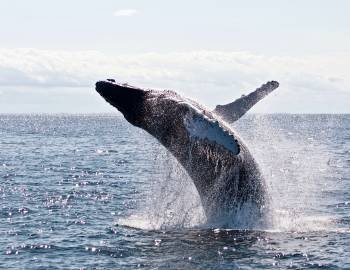 Humpback Whale - Photo by Todd Cravens on Unsplash