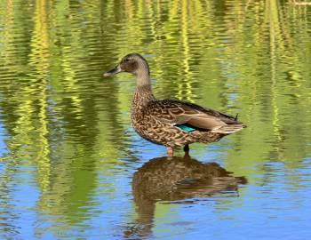 koloa duck
